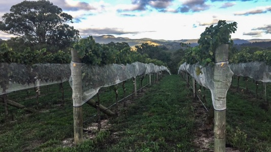 dryridge vines
